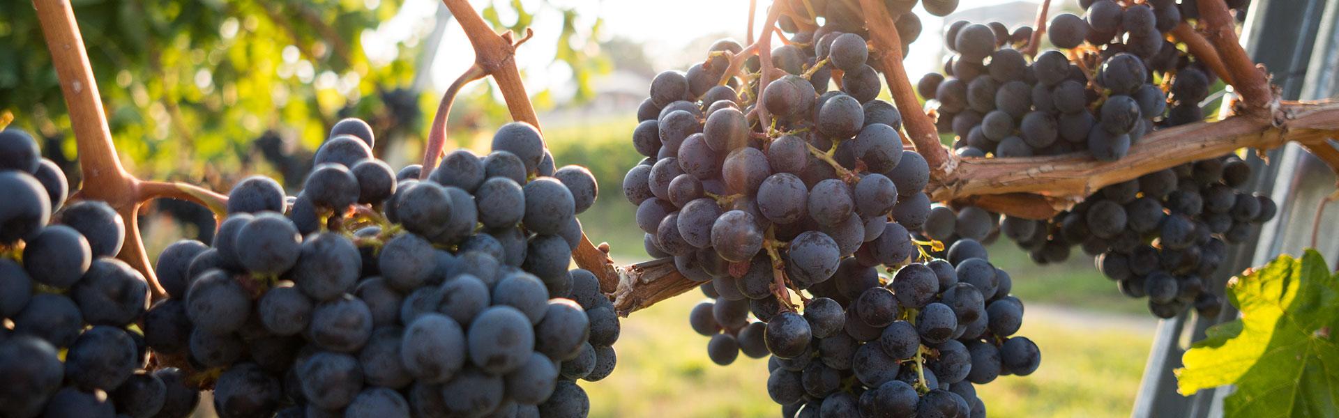 Die 10 meistgepflanzten Weinrebsorten der Welt